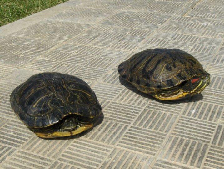 tartaruga dalle orecchie rosse (trachemys _Scripta elegans)