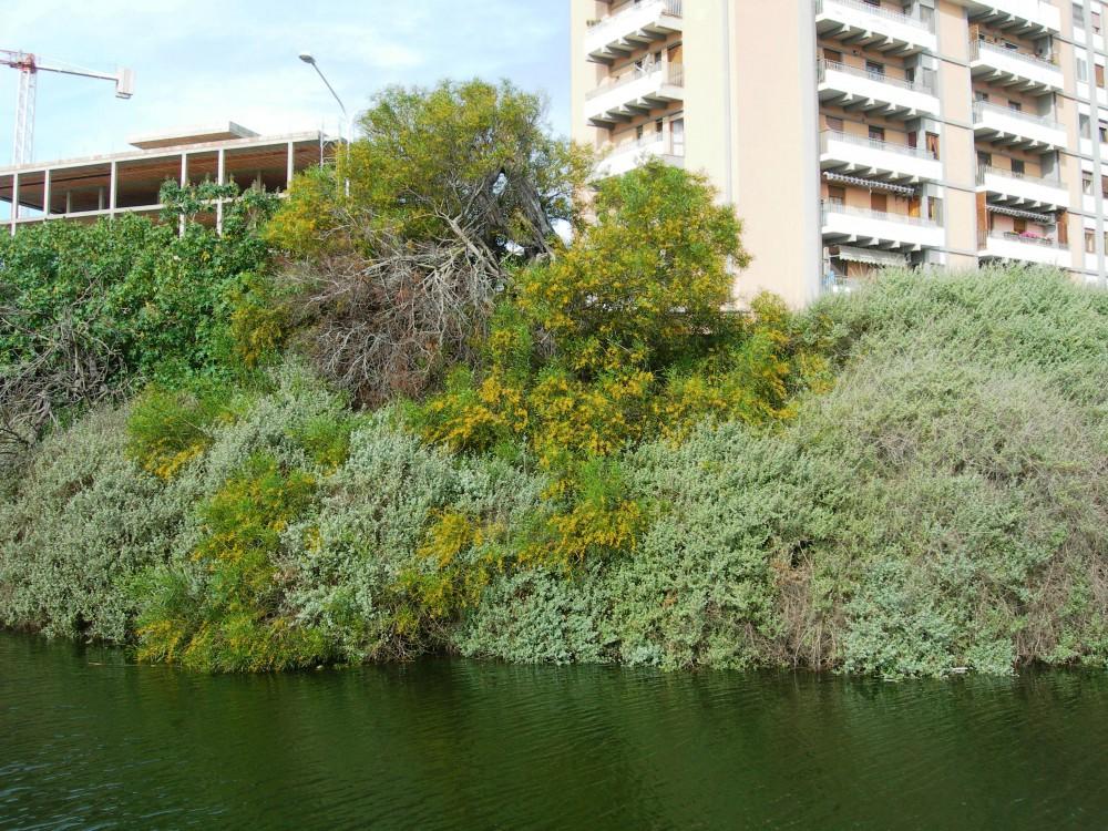 Acacia saligna in mezzo alle comunità arbustive tipiche della vegetazione del Parco.