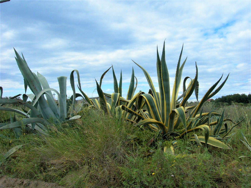 Agave_americana_e_Agave_in_gen