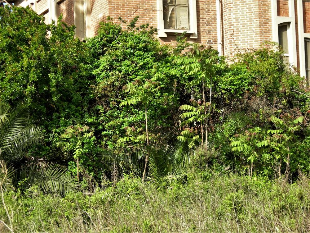 Ailanthus_altissima_in_prossim.