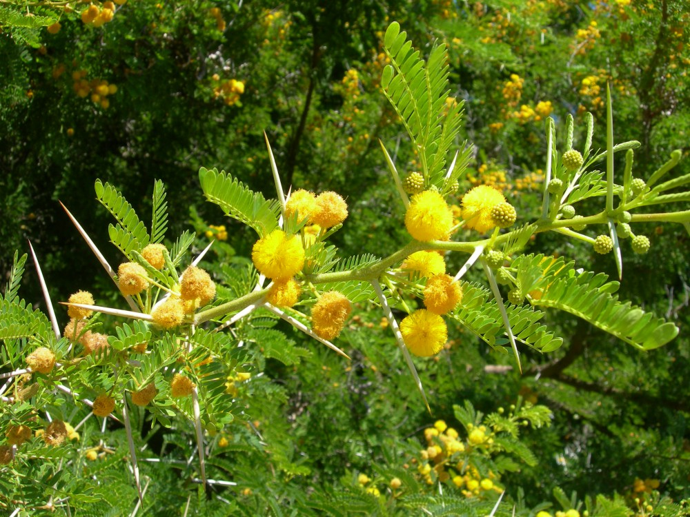 mimosa_orrida_Vachellia_ka
