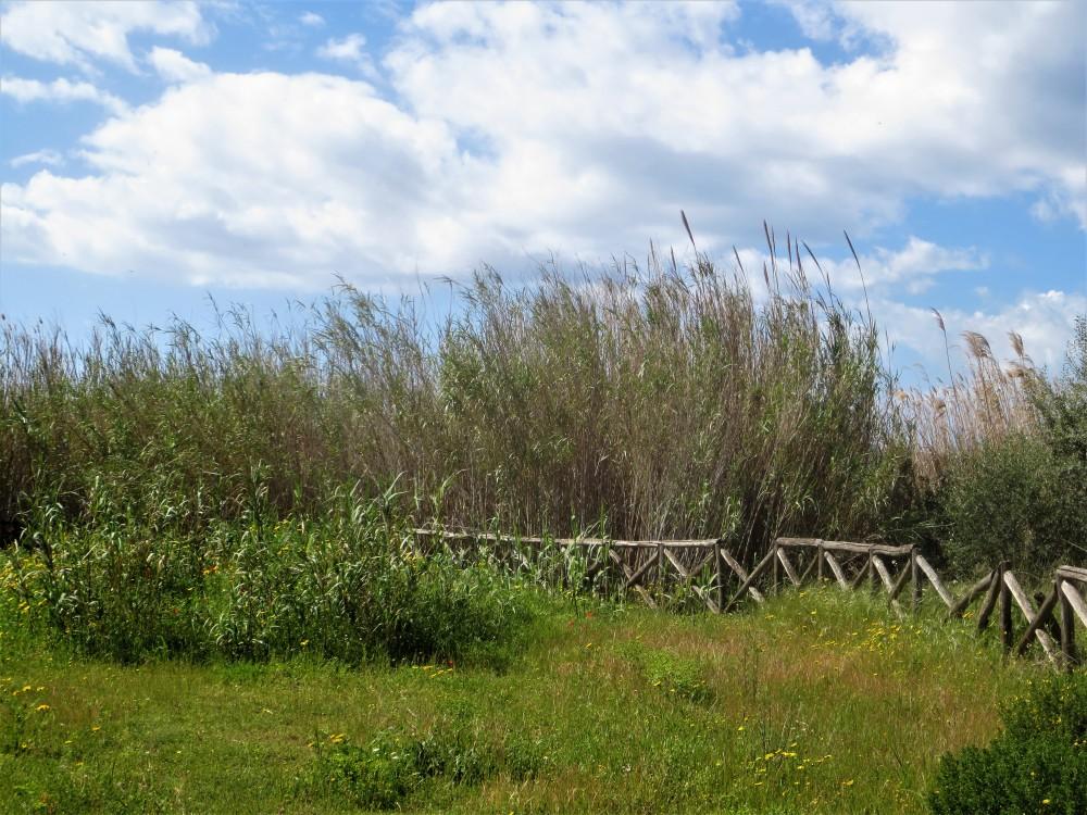 Arundo donax: pianta aliena invasiva di antica introduzione (archeofita) che sostituisce Phragmites australis nella costituzione dei canneti, habitat di molti uccelli acquatici.