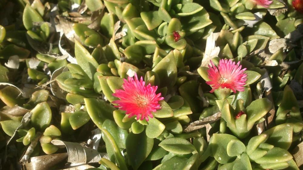 Mesembryanthemum_cordifolium