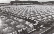raccolta del sale (1930 circa)